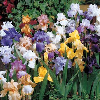 All-Season Bearded Iris Mixture