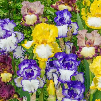 Plicata Bearded Iris Mixture