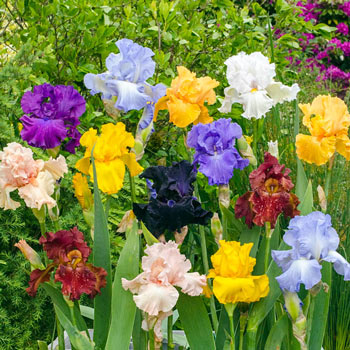 Bold Colours Bearded Iris Mixture