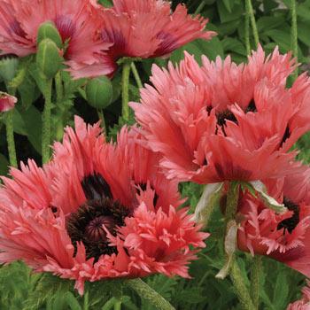 Forncett Summer Oriental Poppy