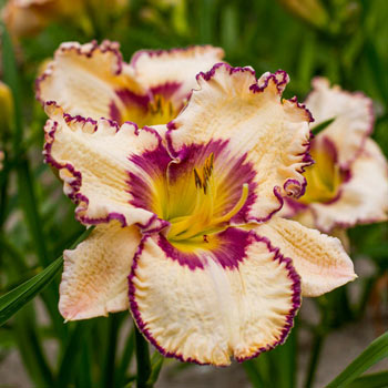 Antique Linen Reblooming Daylily