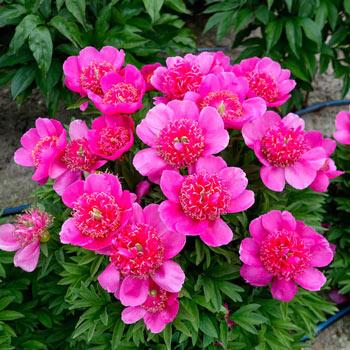 Officinalis Anemoniflora Rosea Peony