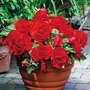 Red Superba Begonia