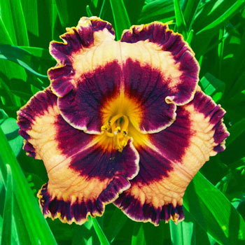 Griffin Miller Daylily