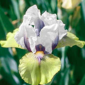 Double Your Fun Reblooming Bearded Iris
