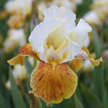 Honey Glazed Bearded Iris