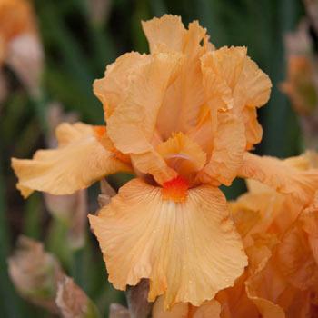 Maid of Orange Bearded Iris
