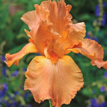 Many Mahalos Reblooming Bearded Iris