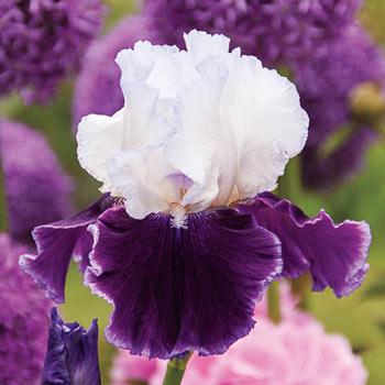 Love Is All Around Bearded Iris