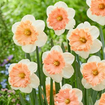 Night Life Daffodil
