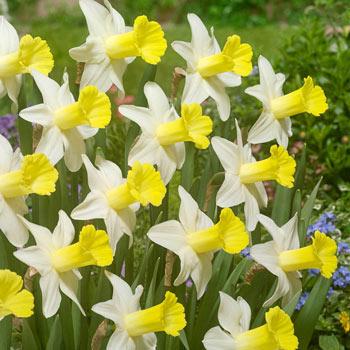 Peeping Jenny Daffodil