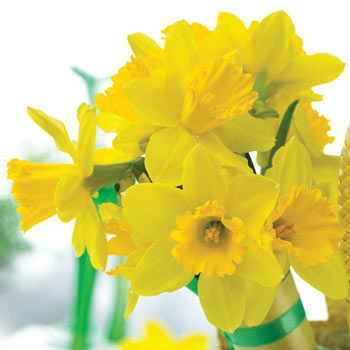 Tamara Daffodil