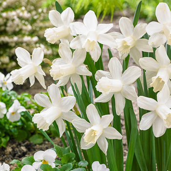 Ice Baby<sup>®</sup> Daffodil