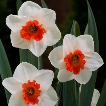 Cool Flame Daffodil