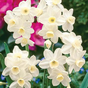 Silver Chimes Daffodil