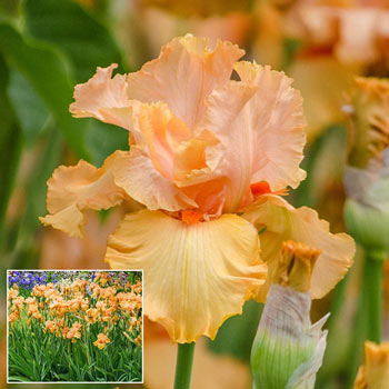 Autumn Riesling Bearded Iris