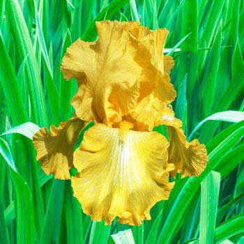 Well Endowed Bearded Iris