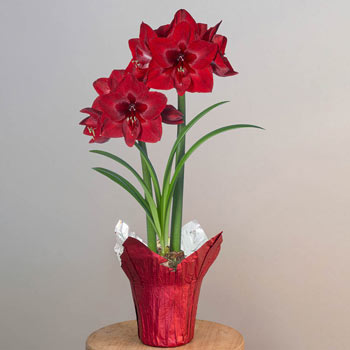 Jumbo Red Reality Amaryllis Single in Foil Wrapped Pot