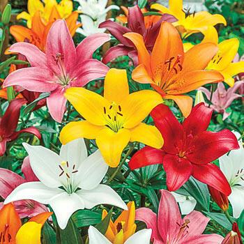 Asiatic Lily Mixture Super Sak<sup>®</sup>