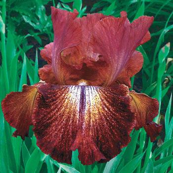 Paprika Fono's Reblooming Bearded Iris