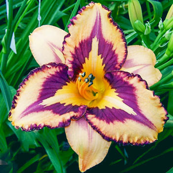 Looney Tunes Reblooming Daylily