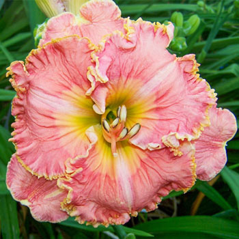 Blossom Hill Reblooming Daylily