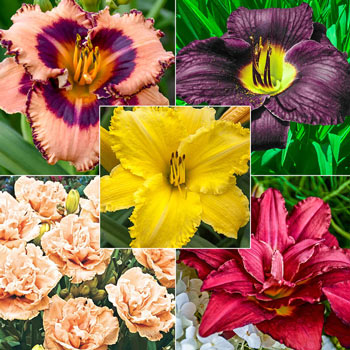 Constant Colour Reblooming Daylily Collection