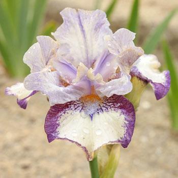 Agatha Christie Reblooming Iris