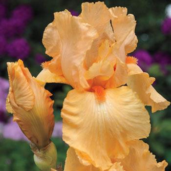 Apricot Silk Reblooming Iris