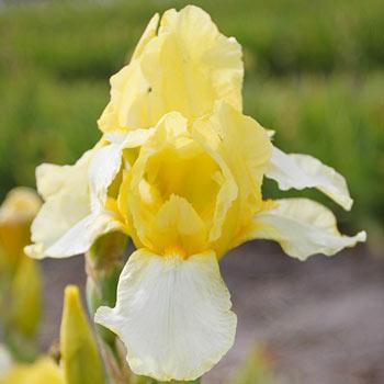 Blessed Again Reblooming Bearded Iris