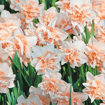 Delnashaugh Daffodil Super Sak<sup>®</sup>