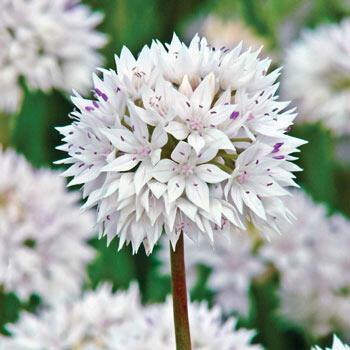 Graceful Beauty Allium