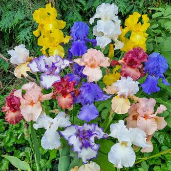 Reblooming Tall Bearded Iris Mixture