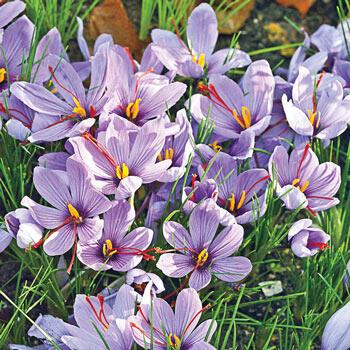 Saffron Fall-Blooming Crocus