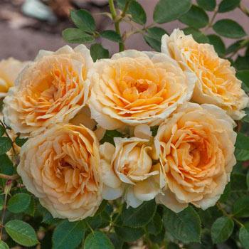 Edith's Darling<sup>®</sup> Shrub Rose