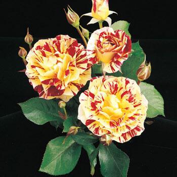 George Burns Floribunda Rose