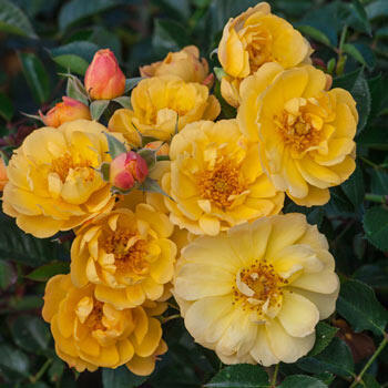 Sunshine Happy Trails<sup>™</sup> Groundcover Rose