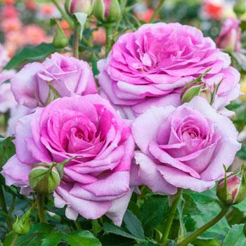 Violet's Pride<sup>™</sup> Floribunda Rose