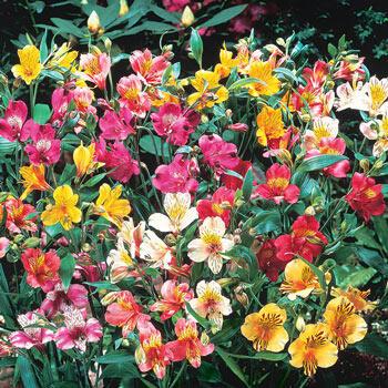 Peruvian Lily Mixture