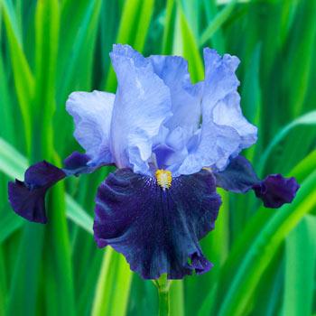 Habit Bearded Iris