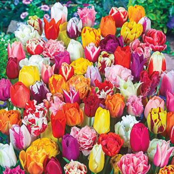 2 Months of Spring Carnival<sup>™</sup> Tulip Mixture