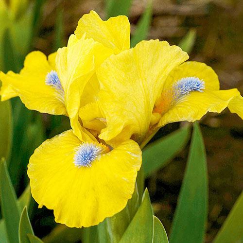Prank Dwarf Bearded Iris
