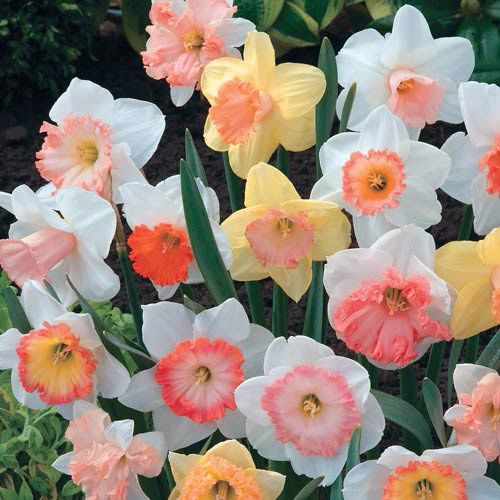 Hybridizers pink daffodil mixture brecks hybridizers pink daffodil mixture mightylinksfo