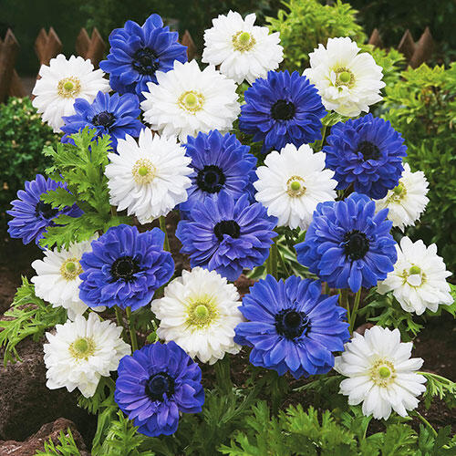 Double Daisy Anemone Blue & White Mixture