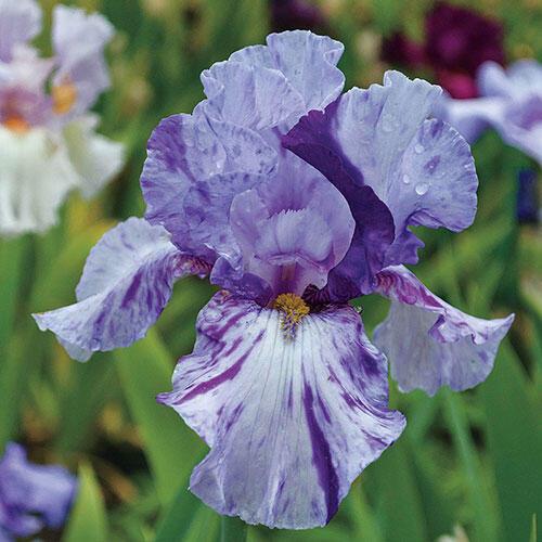 Elainealope Reblooming Bearded Iris