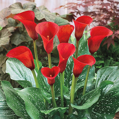 Buy Red Alert Calla Lily