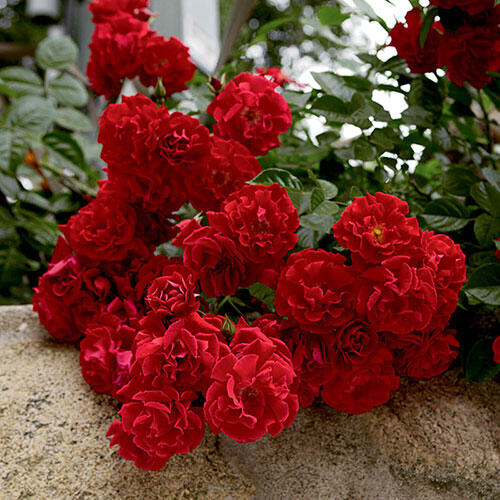 Roses In Garden: Red Ribbons Groundcover Rose
