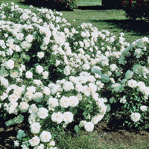 foto de White Meidiland Groundcover Rose Brecks com