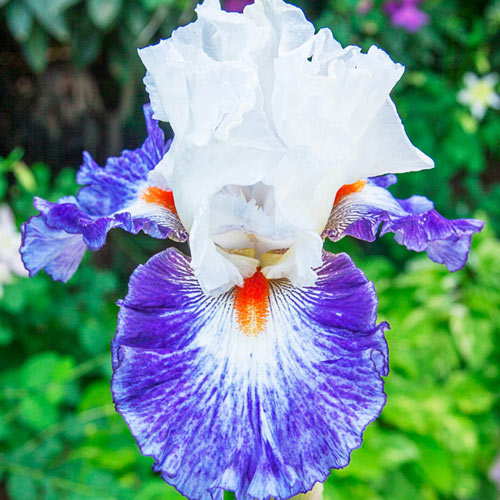 Gypsy Lord Bearded Iris