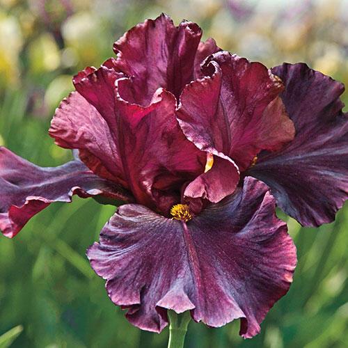 Raptor Red Bearded Iris